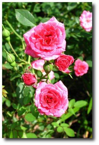 Small roses macro shot