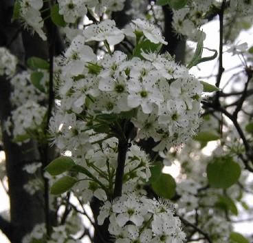 Close-up shot of flowering Bradford pear tree.