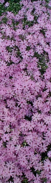 Tall picture of purple Phlox.