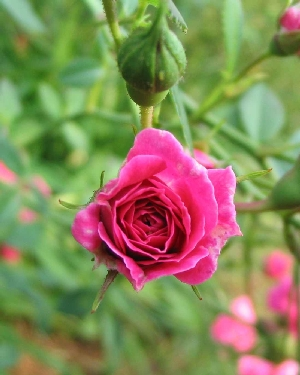 Miniature rose, pink.